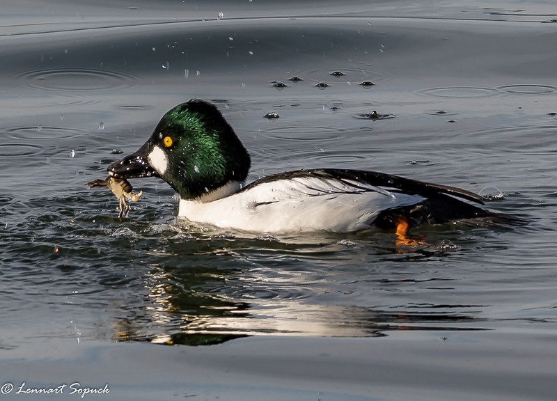 Common Goldeneye with crab