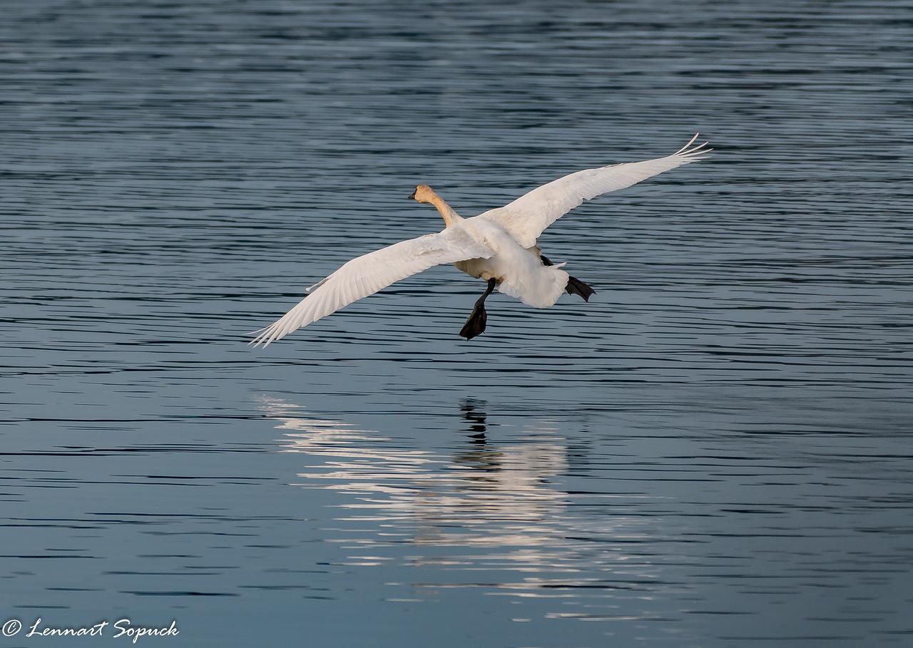 Trumpeter Swan landing