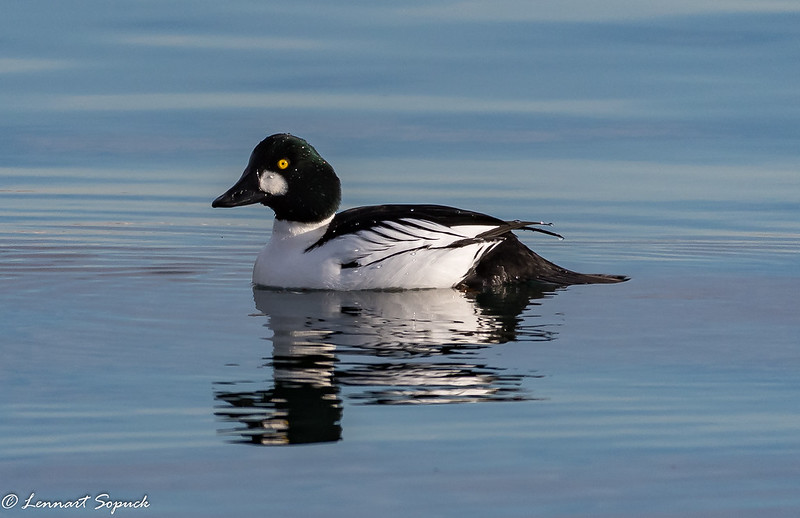 Common Goldeneye, Nymph Point
