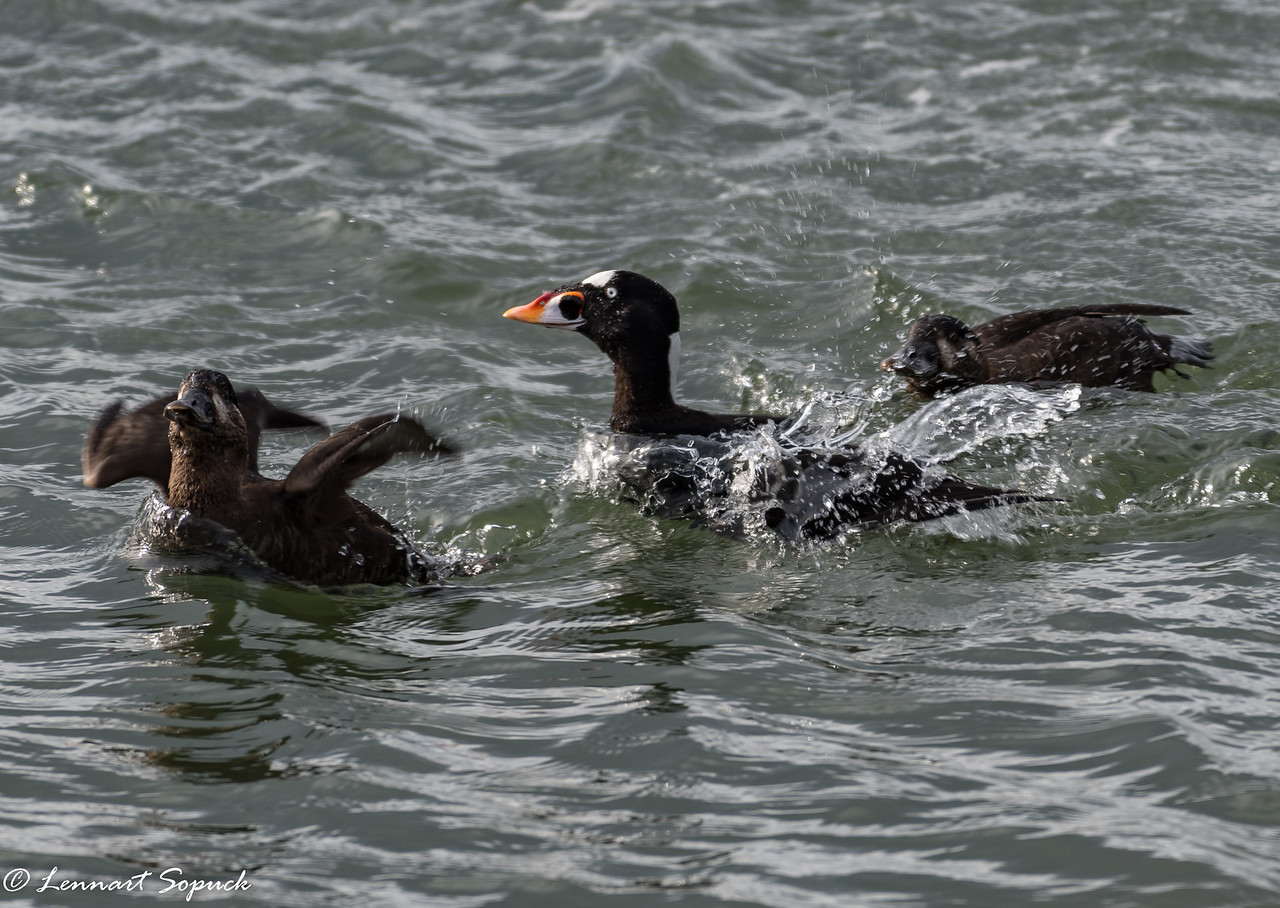 Surf Scoter, male and 2 females
