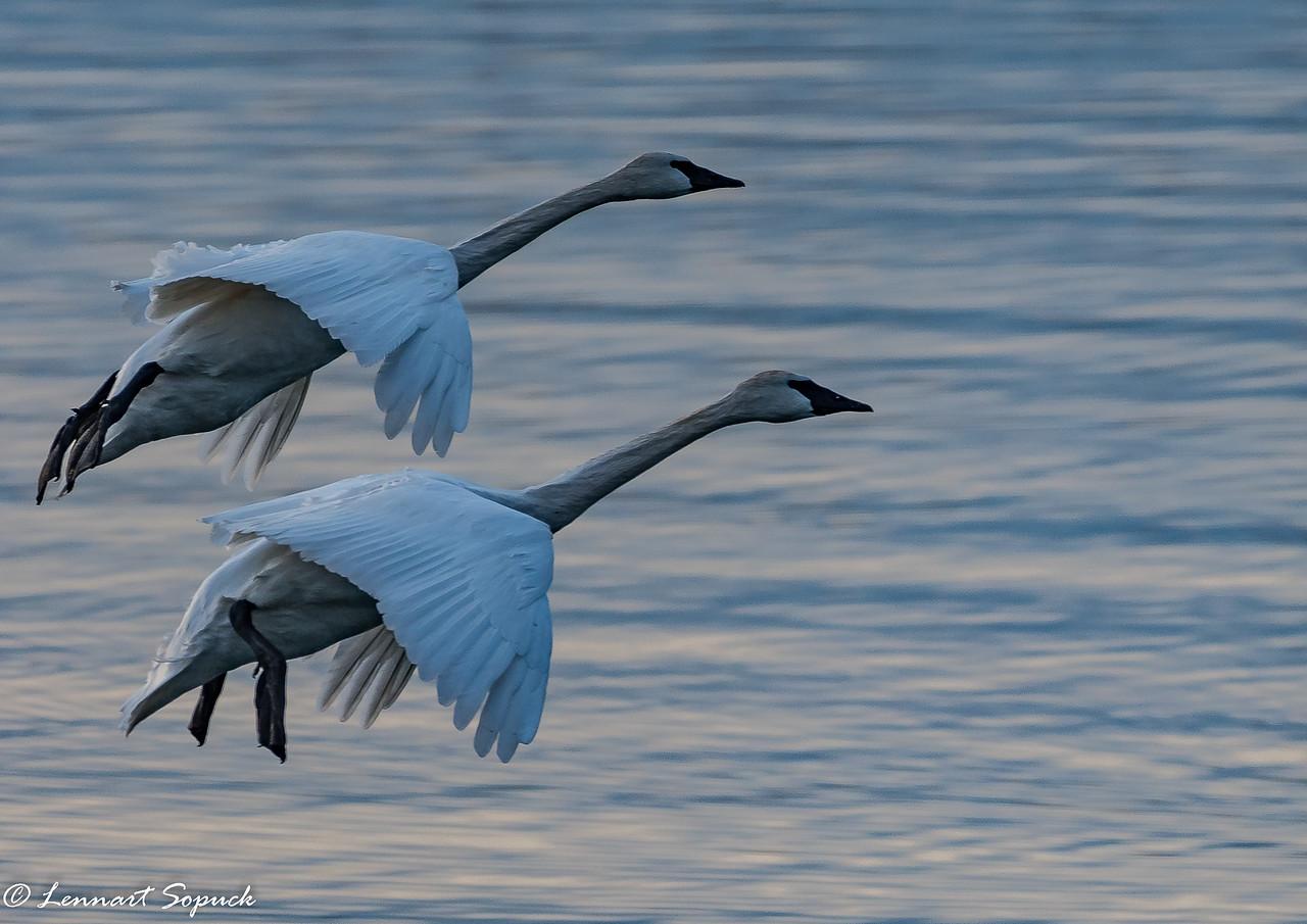 Trumpeter Swans landing at Pat Bay