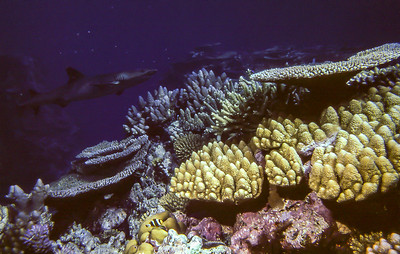 Coral with White-tipped Reef Shark