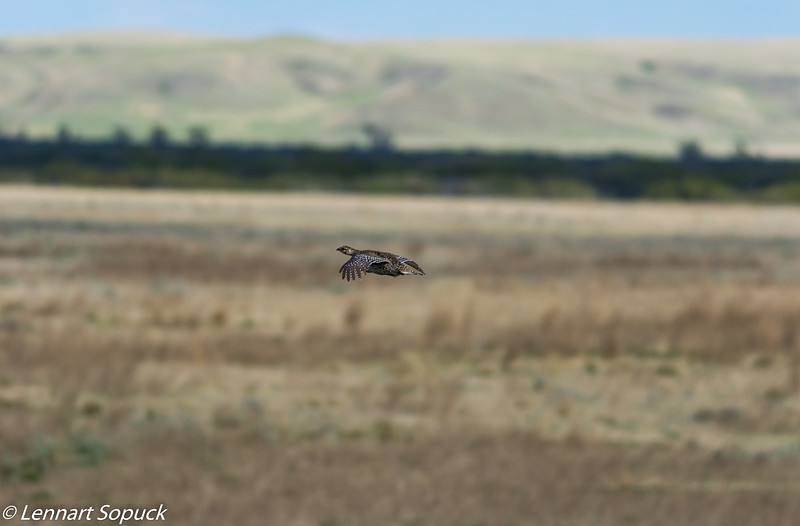 Sharp-tailed Grouse, GNP