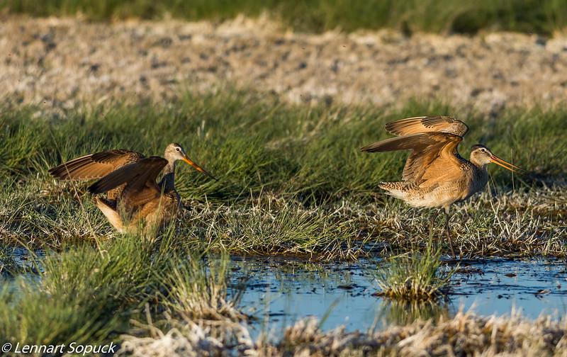 Marbled Godwits, near Malta, Montana