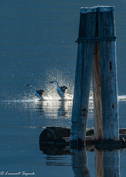 Western Grebe pair in ritualized dance display