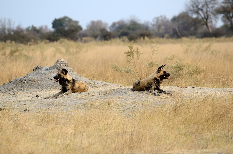 African Wild Dog Moremi 1