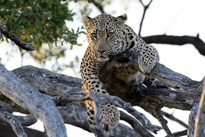 Leopard at kill Moremi 22