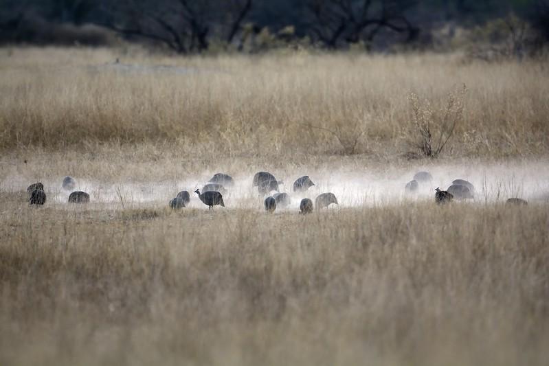 Guinea Fowl Scratching Moremi 4