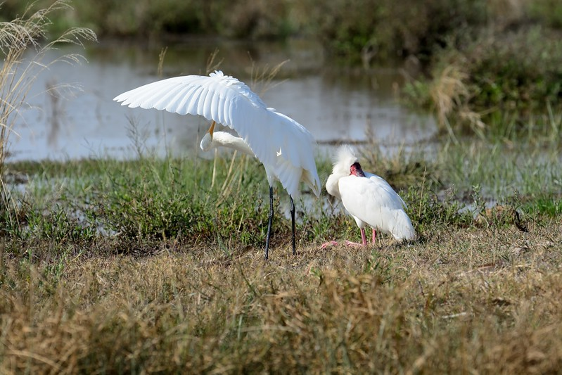 African Spoonbill and Great Egret  Moremi 9a