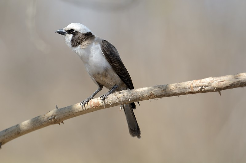 Southern White-crowned Shrike Savuti 2