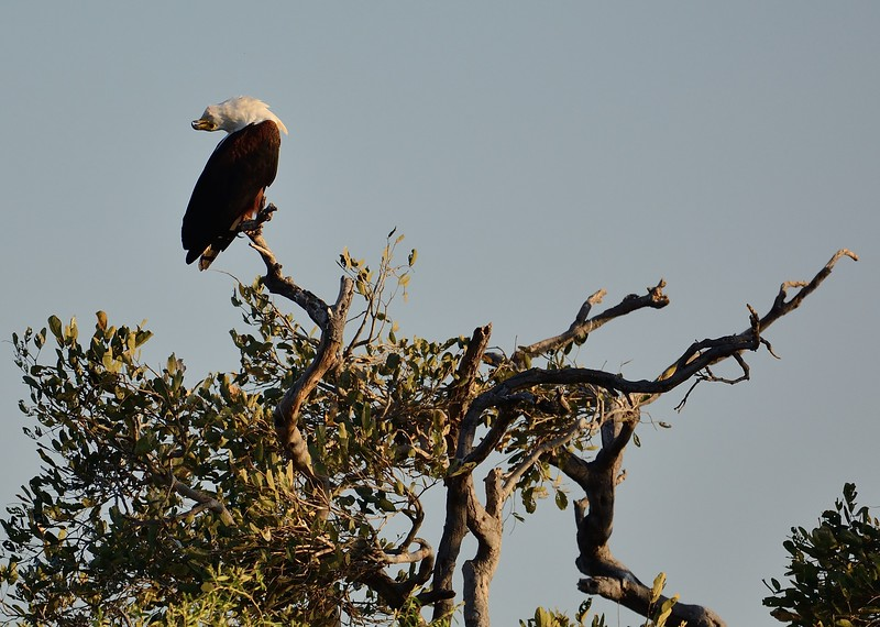 African Fish eagle Chobe 1