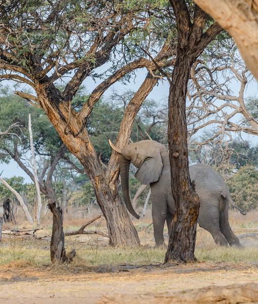 Elephants Khwai River Botswana 12