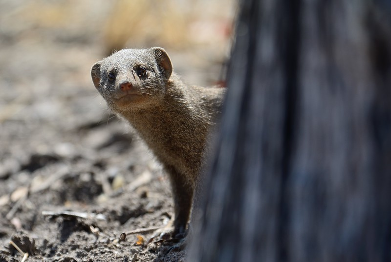 Dwarf Mongoose Moremi 2