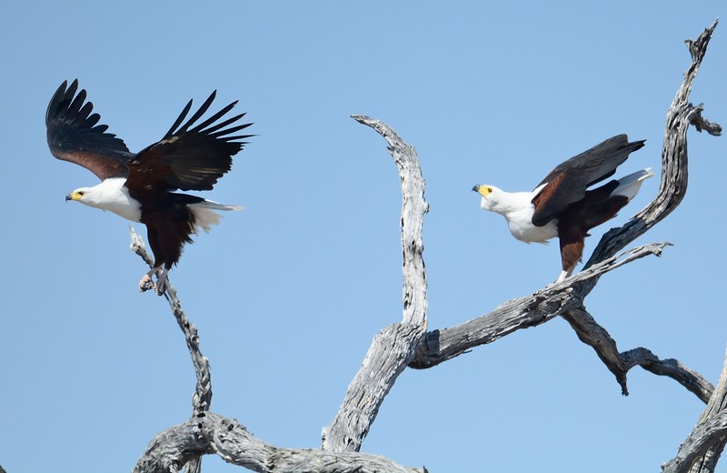 African Fish Eagle Savuti 6