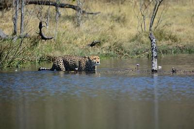 Cheetah Khwai River no D lighting 24