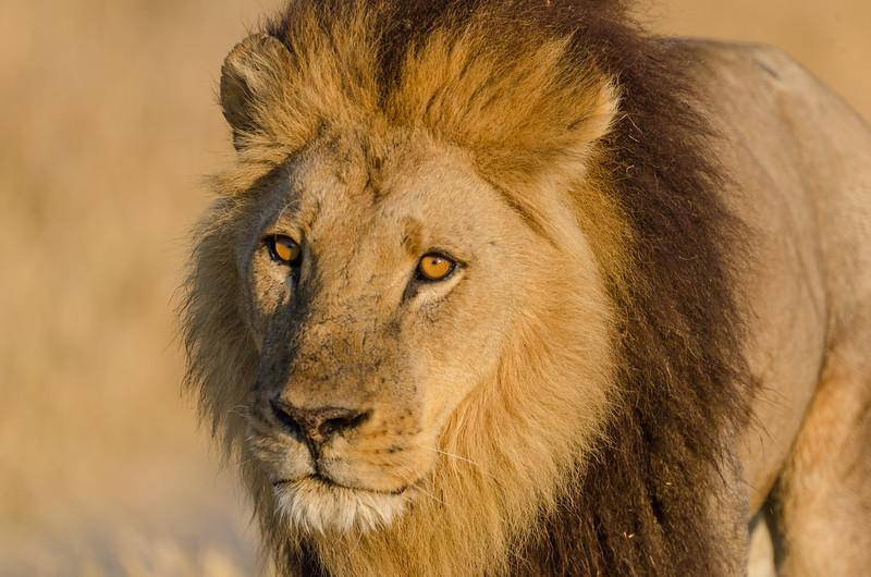 Male lion Moremi Botswana 10