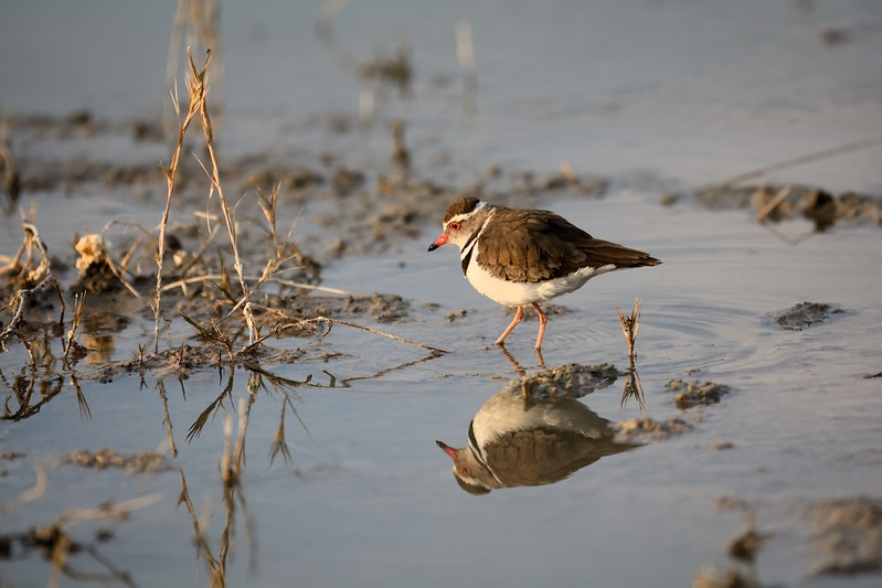 Three-banded  Plover Moremi 1