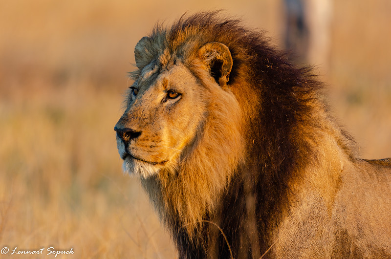 Moremi Lion adult male Botswana (1 of 1)