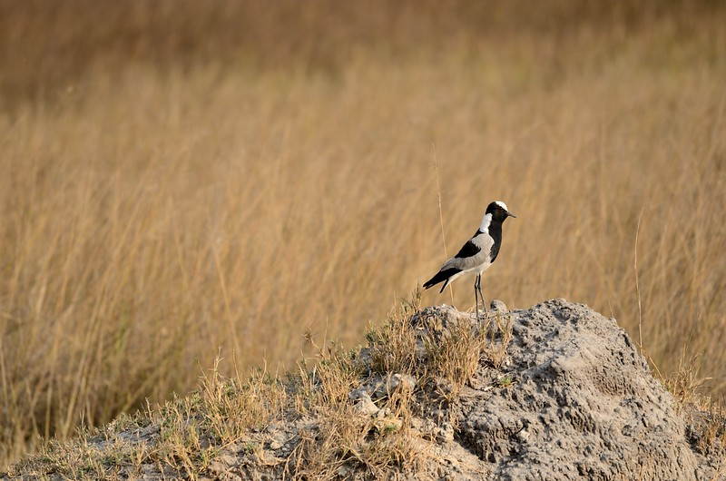 Blacksmith Plover Moremi 1