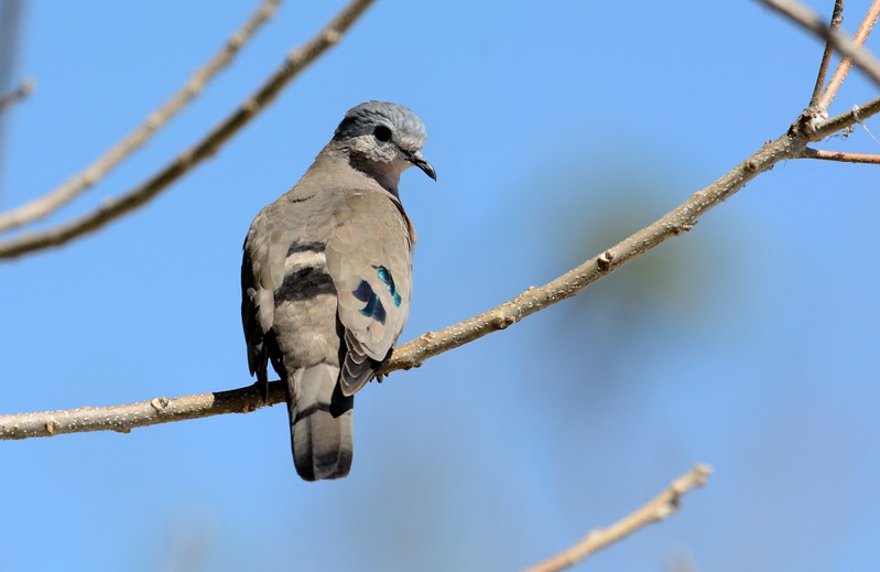 Emerald Spotted Wood Dove Chobe 1