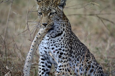 Leopard with Puff Adder Khwai River 1