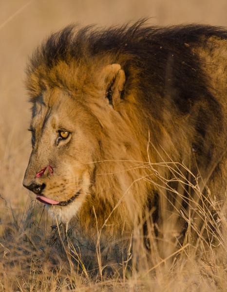 Male lion Moremi Botswana 8