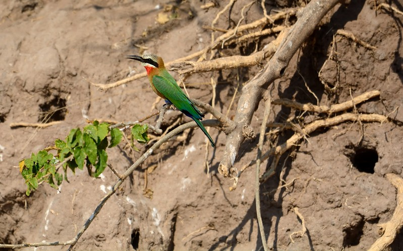 White-fronted Bee-eater Chobe 8
