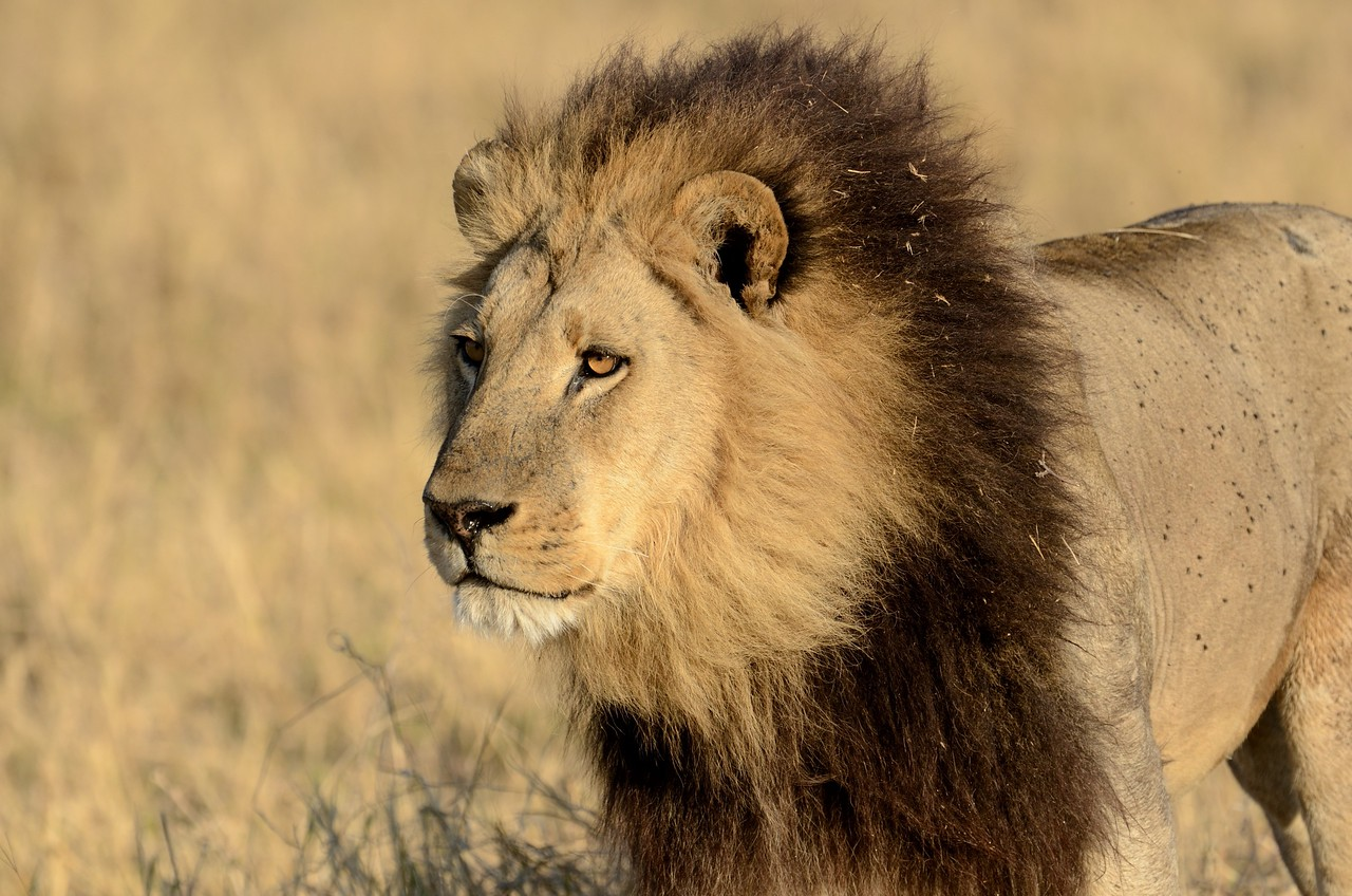 Male lion Moremi 17