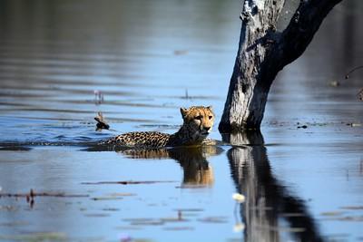 Cheetah Khwai River 11