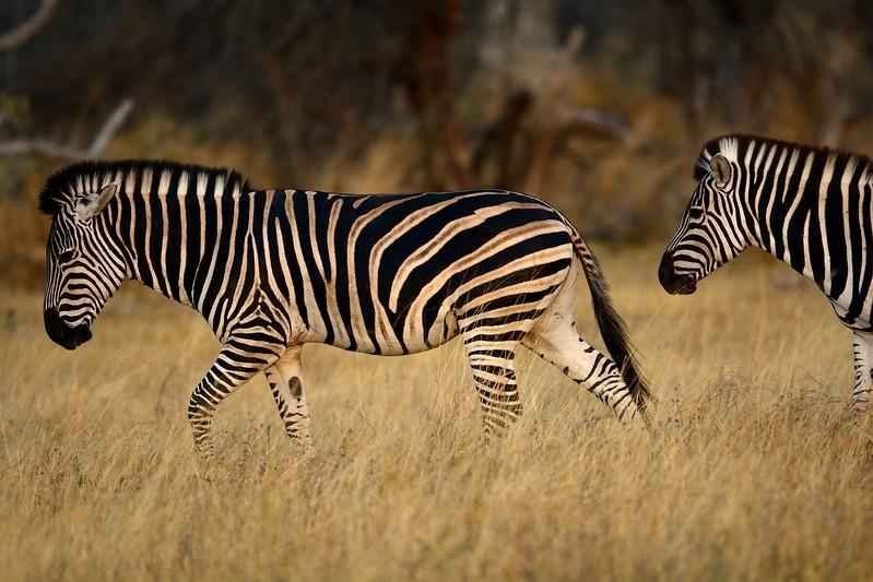 Zebra Moremi 8