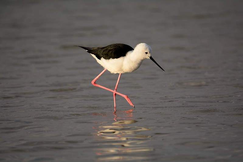 Black-winged Stilt Moremi 2