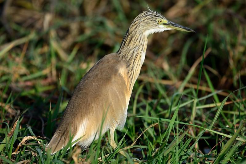 Squacco Heron Chobe 1