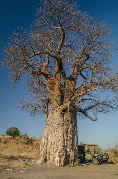 Baobab tree Savuti Botswana 2