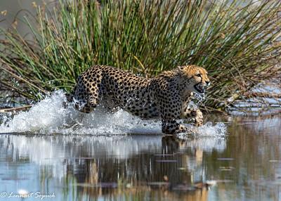 Cheetah Moremi 2621 Sharpen AI (1 of 1)