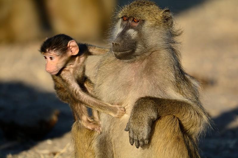Chacma baboon Chobe 5