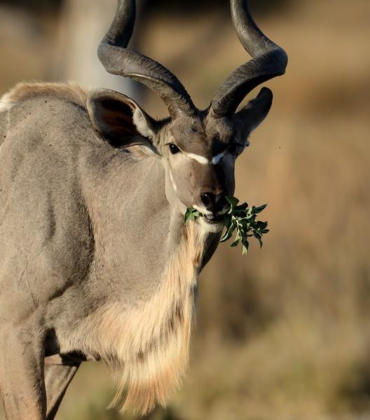 Kudu bull Khwai River 2