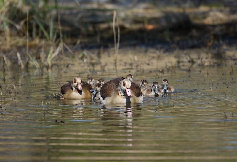 Egyptian Goose Moremi 5