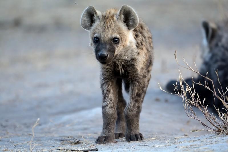Spotted Hyena Khwai River 10