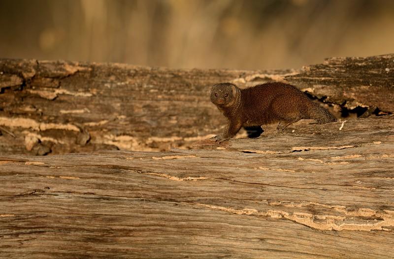 Dwarf Mongoose Khwai River 5