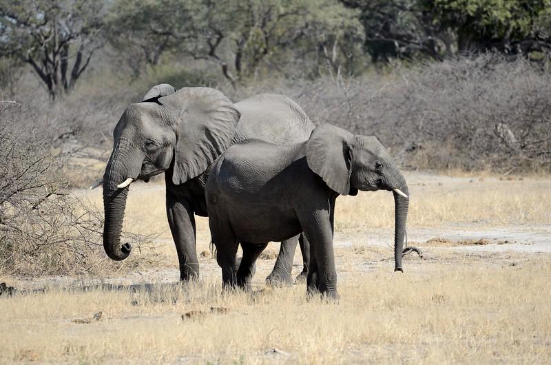 Elephant Moremi 8