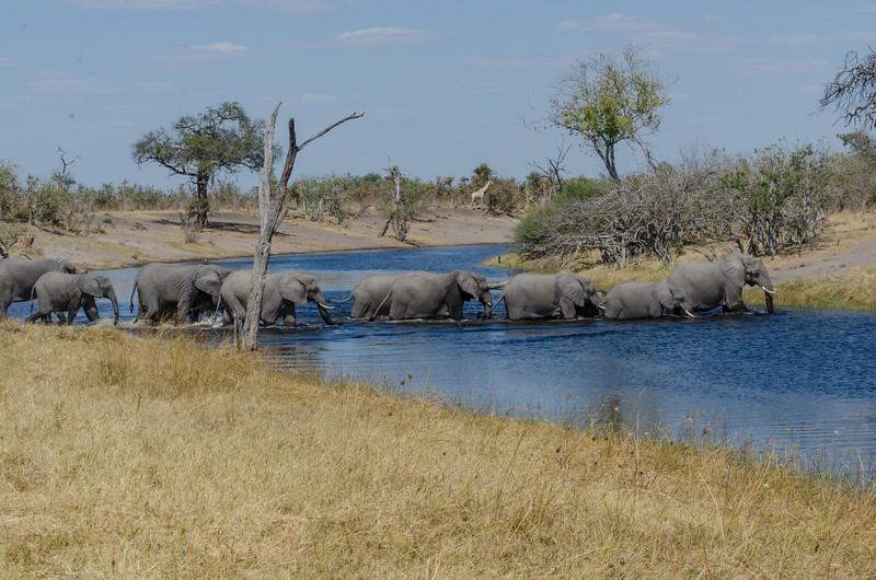 Elephants Savuti Botswana 1