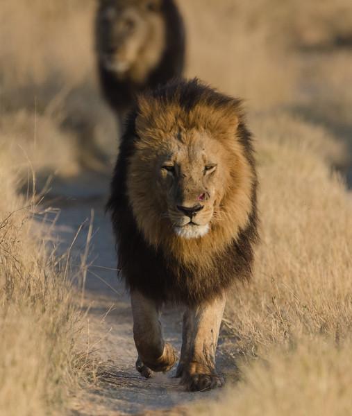 Male lion Moremi Botswana 16