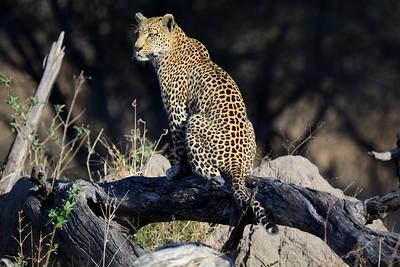 Leopard before snake Khwai River 1