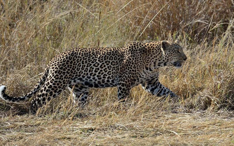 Leopard across Khwai River 3