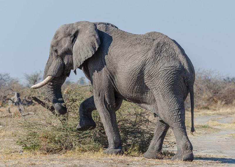 Elephant Savuti Botswana 6