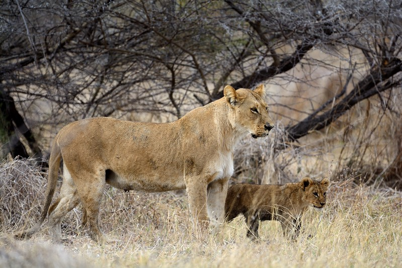 Lion Pride Savuti 80