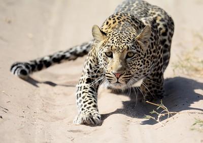 Leopard Savuti 11