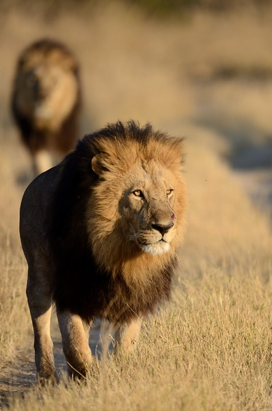 Male lion Moremi 10