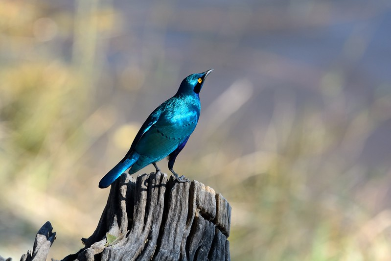Cape Glossy Starling Chobe 1