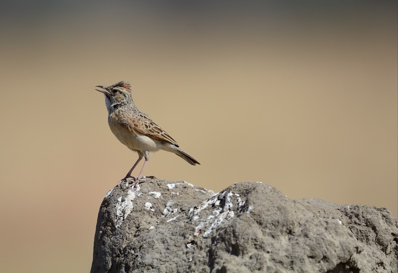 Rofous-naped Lark on Termite mound Savuti 1